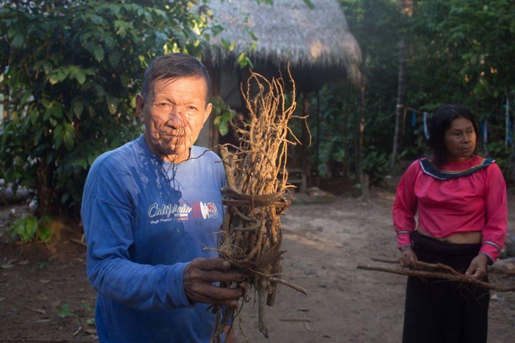 shipibo shamans keeping ajo sacha roots at psychonauta center in peru