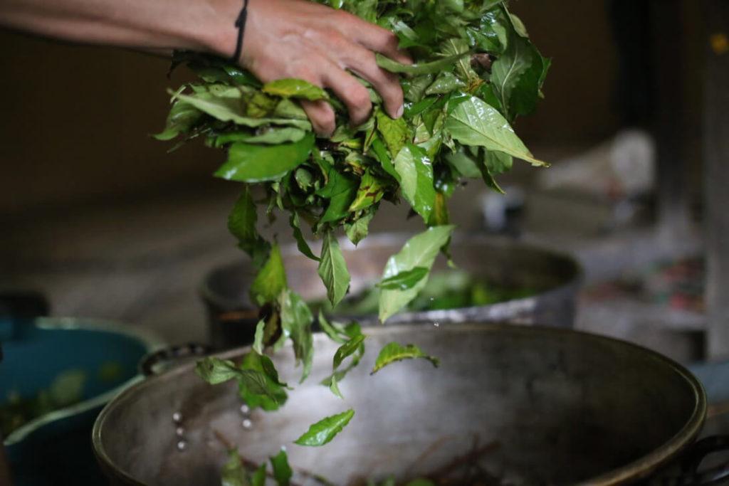 fresh chacruna leaves ayahuasca psychonauta retreat